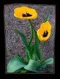 Crazy tulips