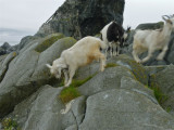 These goats were fast!