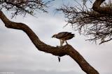 T_093_0374-Serengeti Lobo.jpg