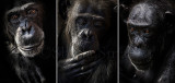 Chimpanzee triptych