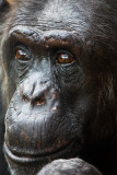 Chimpanzee close