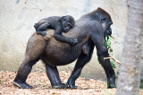 Gorilla and baby on back
