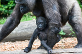 Female western lowland gorilla with very young baby