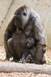 Western lowland gorilla with baby