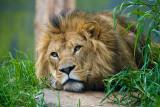 Lion watchful