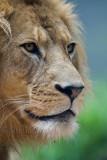 Lion three quarters portrait