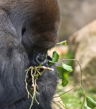 Silverback eating