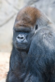 Western lowland silverback gorilla