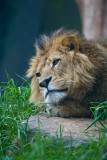 Wistful lion