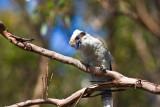 Kookaburra on branch