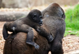Western lowland gorilla with baby on back