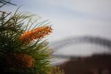 Golden grevillea and Sydney Harbour Bridge
