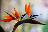 Strelitzia or bird of paradise flower