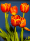 Five red  tulips