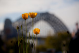 Three poppies with Sydney Harbour Bridge backdrop