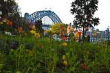 Poppies with Sydney Harbour Bridge backdrop