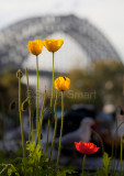Four poppies with Sydney Harbour Bridge backdrop