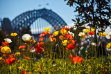 Poppies and Sydney Harbour Bridge