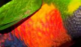 Feathers of rainbow lorikeet