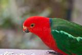 King parrot with deformed beak