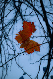 Liquidambar leaf  or maple leaf in winter