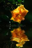 Yellow hibiscus reflection