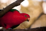 King parrot in Chinese magnolia tree