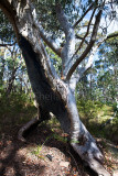 Bushfire damaged tree