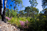 Baronia and wildflowers at Muogamarra Nature Reserve