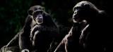 Chimpanzee composite