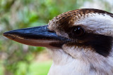 Kookaburra close up