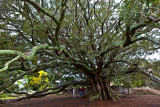 Huge Morton Bay fig at Milton, New South Wales