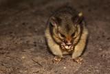 Baby brushtail possum