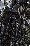 Moreton Bay fig tendrils