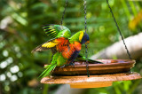 Rainbow lorikeet in bath