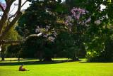 Jacaranda in Botanic Gardens