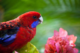 Crimson rosella with bougainvillea