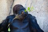 Kibabu eating