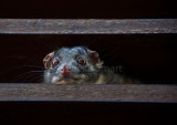 Ringtail possum peering over shutter