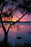 Narrabeen  sunrise with she oak portrait