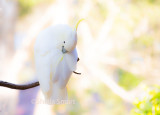 Preening sulphur crested cockatoo on pastel background