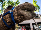 Close up of camel using fisheye lens