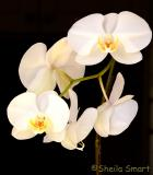 Moth orchid with five flowers
