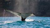 Humpback fluke off Barrenjoey