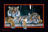 Sumatran tigers popout