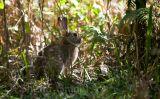 Rabbit  in wetlands