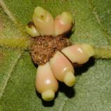 Dryocosmus deciduus (galls)