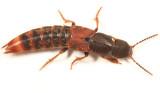Platydracus cinnamopterus complex