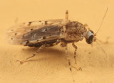 Biting Midges - Ceratopogonidae
