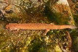 Northern Spring Salamander - Gyrinophilus porphyriticus